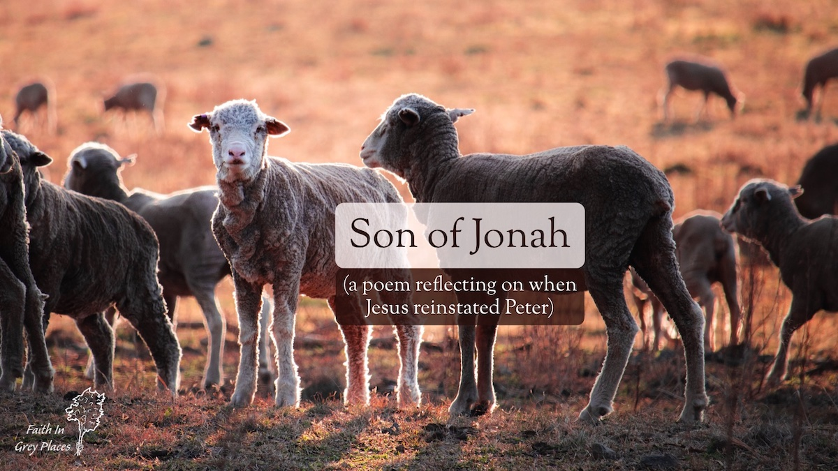 Close up of sheep standing in rough pasture in warm evening light with one sheep looking directly at the camera. Text on top: Son of Jonah (a poem reflecting on when Jesus reinstated Peter) Faith in Grey Places