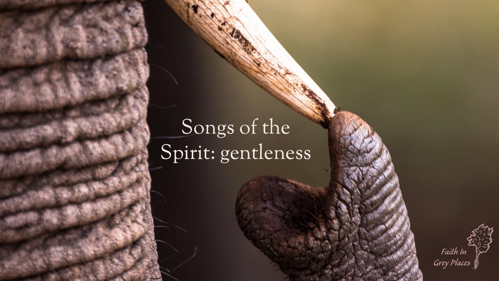 Close up of an elephant touching its tusk with the tip of its trunk. Words: Songs of the Spirit: gentleness. Faith in Grey Places