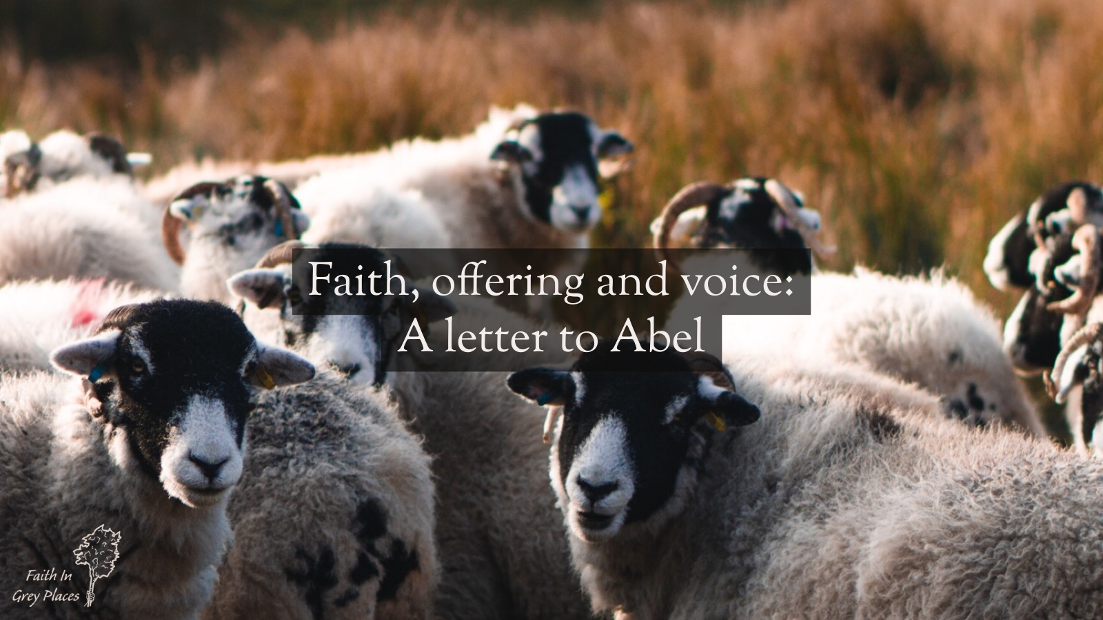 Ewes and rams with black heads standing in a field looking at the camera in the evening light. Text: Faith, offering and voice: A letter to Abel
